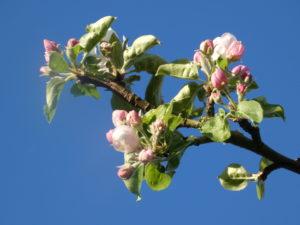 gite-normandie_les-petits-matins-bleus_pommier-en-fleurs