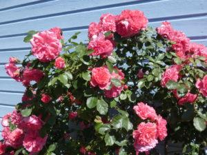 gite-normandie_les-petits-matins-bleus_roses-des-pommiers_052020